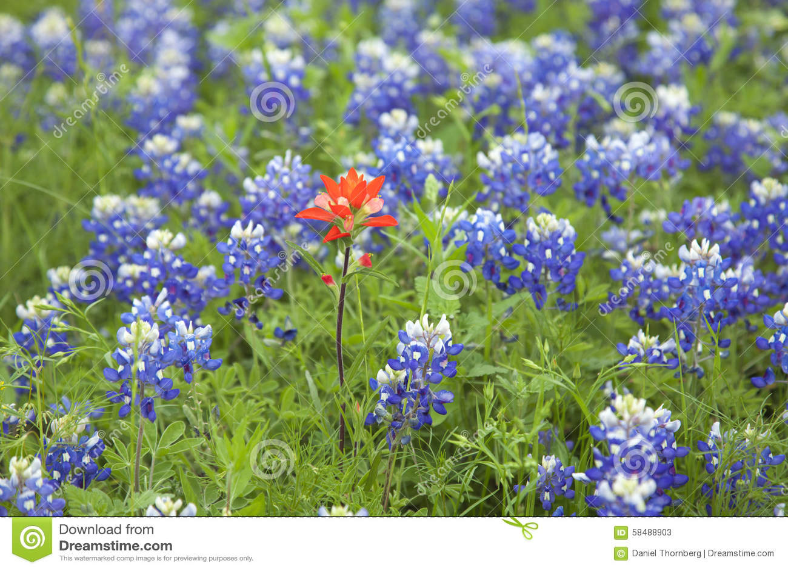 Flor do pincel indiano entre Texas Bluebonnets