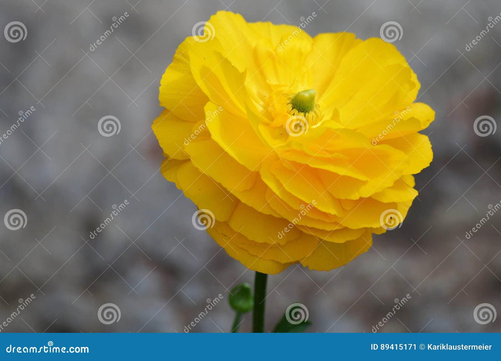 Flor do ranúnculo