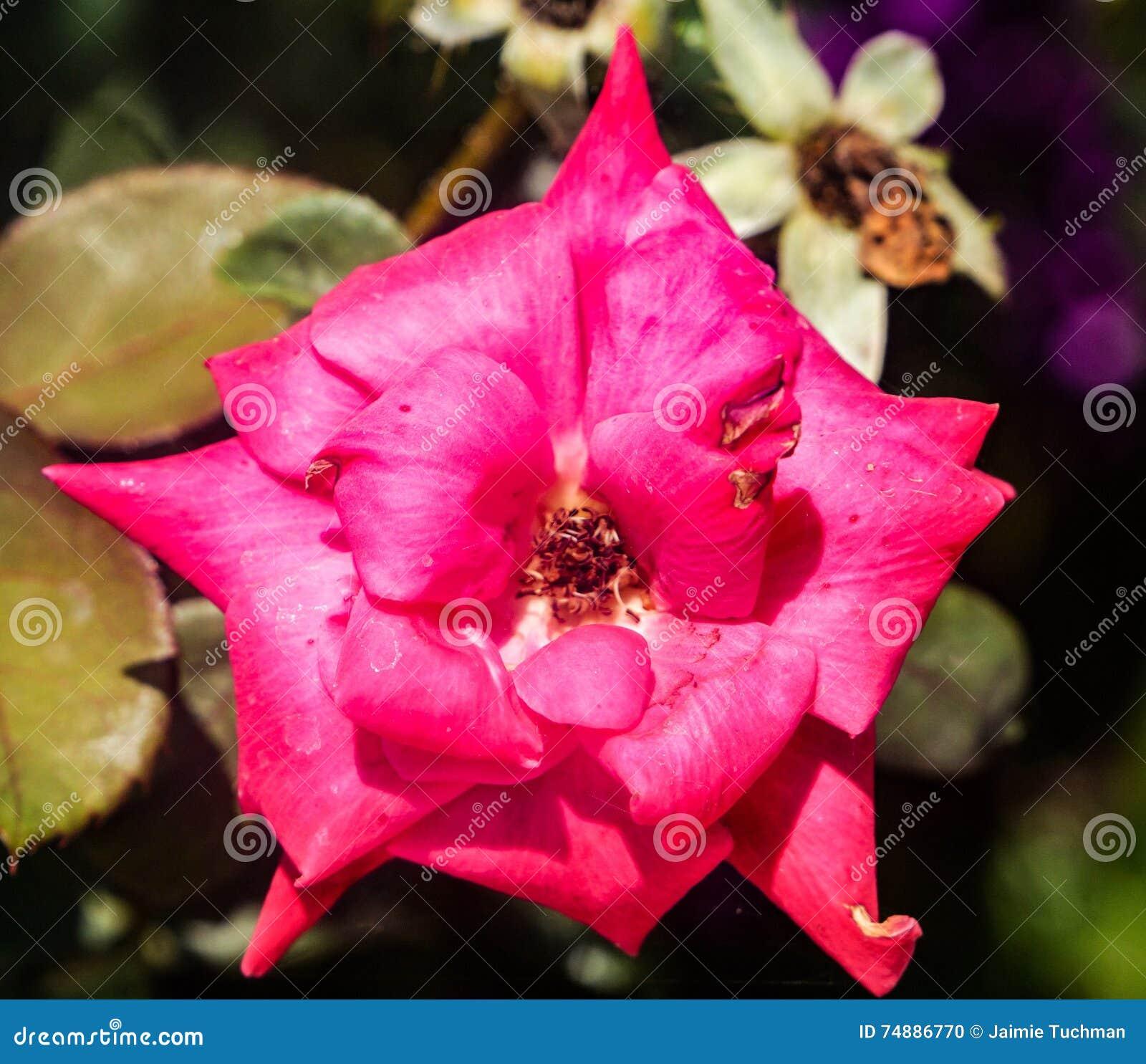 Flor do rosa quente na flor