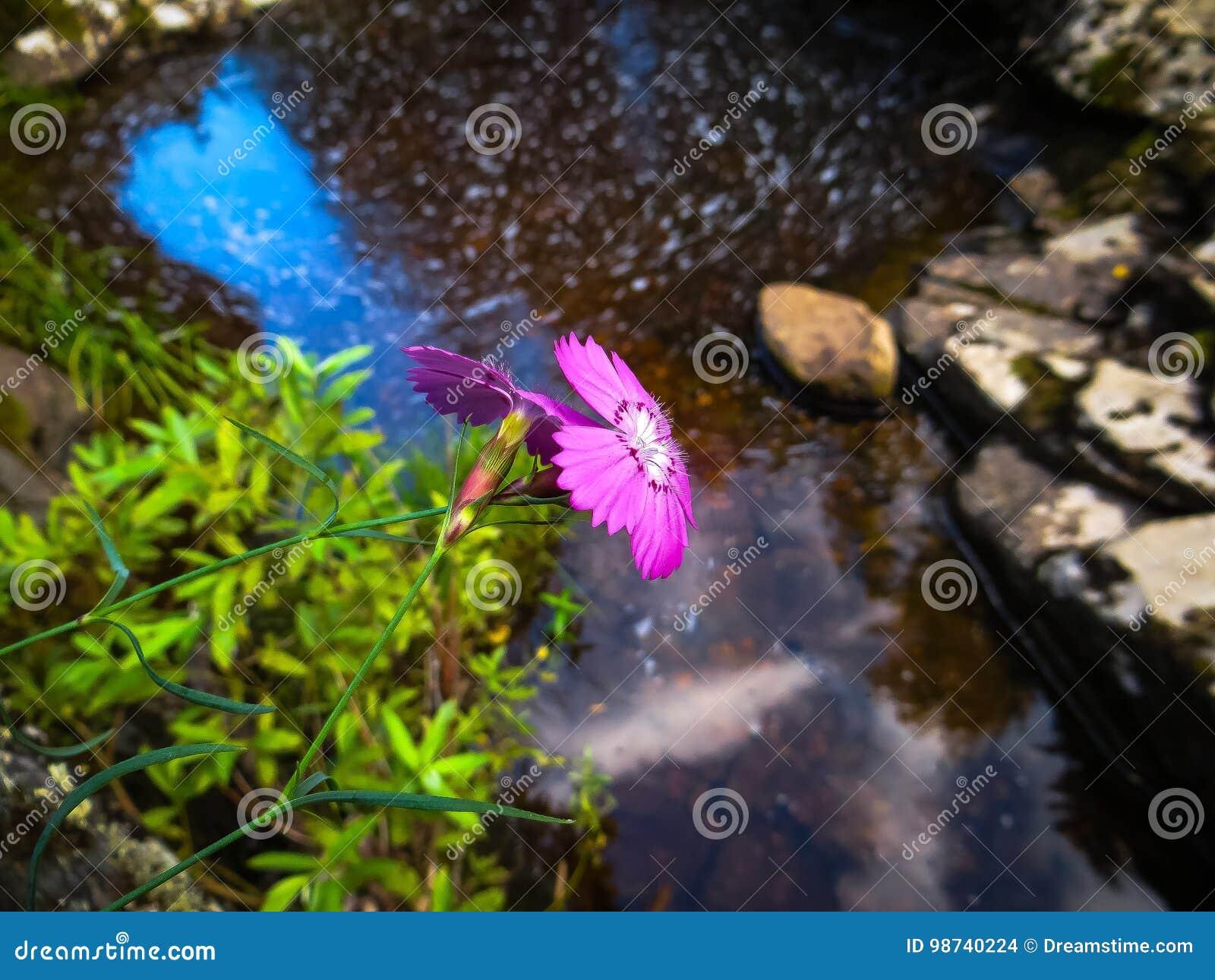 Flor do rosa selvagem