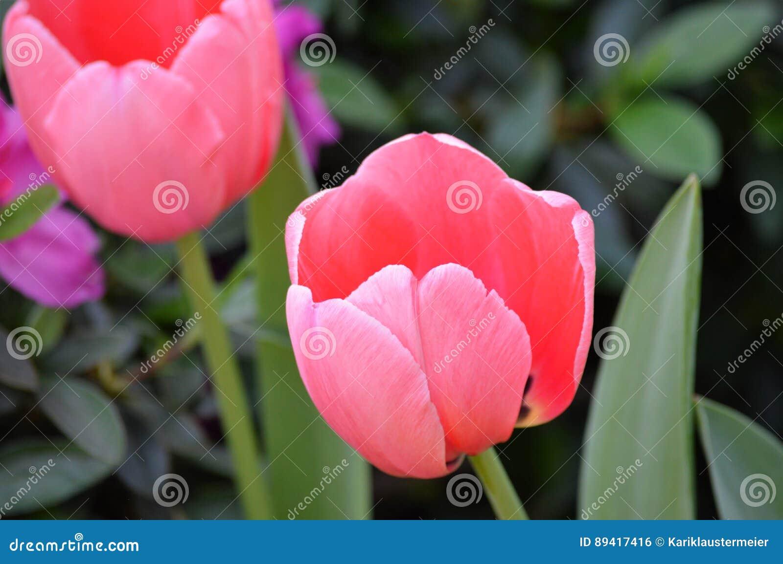 Flor do Tulip