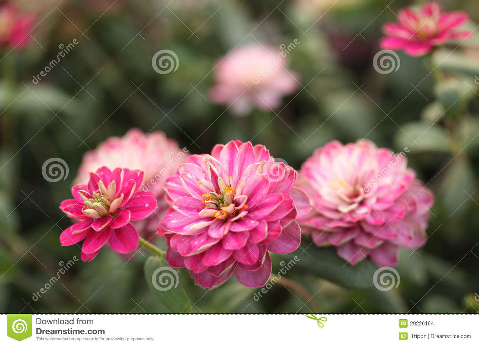 Download Flor do Zinnia foto de stock. Imagem de jardim, cor, jardinar - 29226104