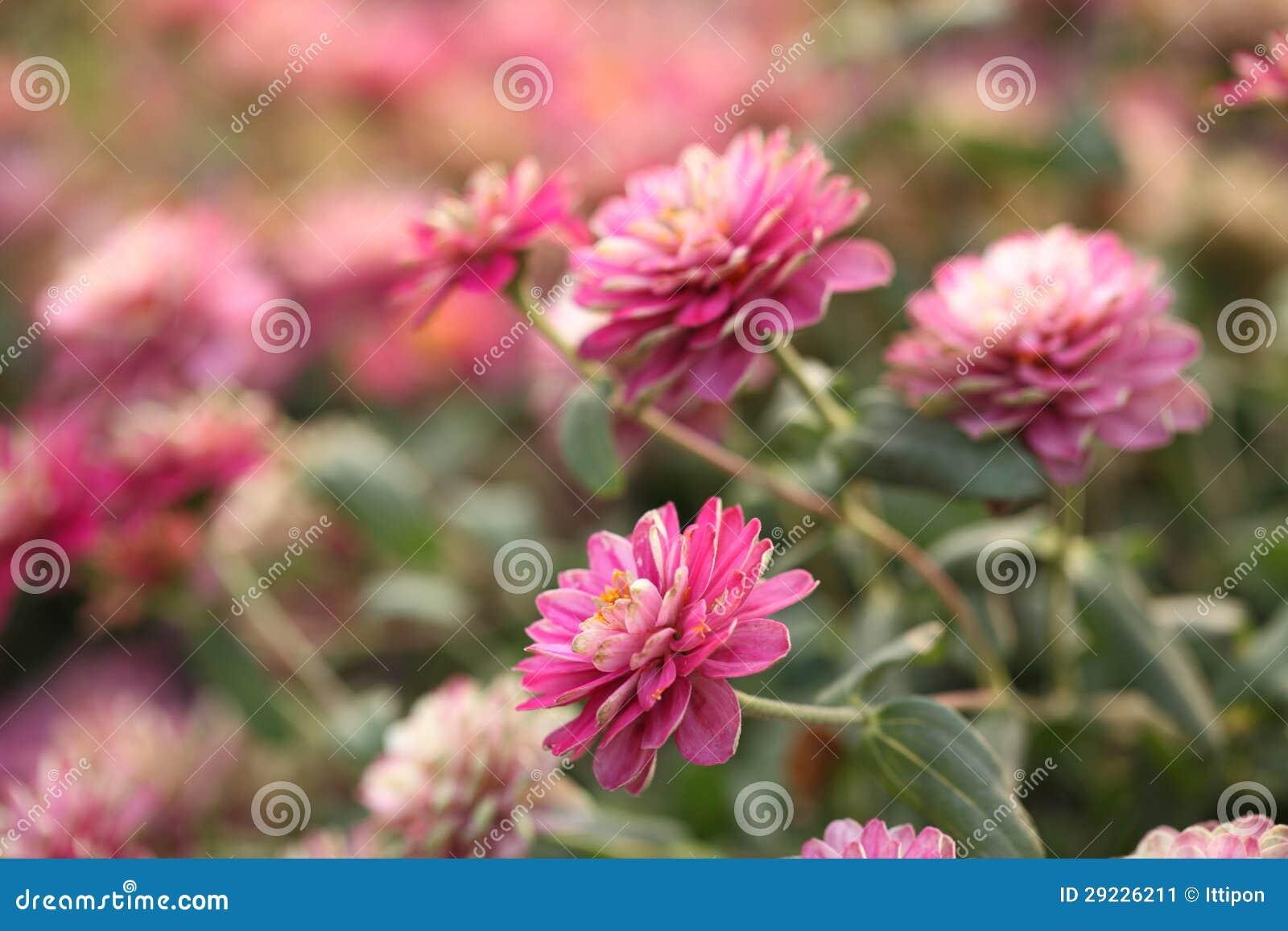 Download Flor do Zinnia imagem de stock. Imagem de vívido, de - 29226211