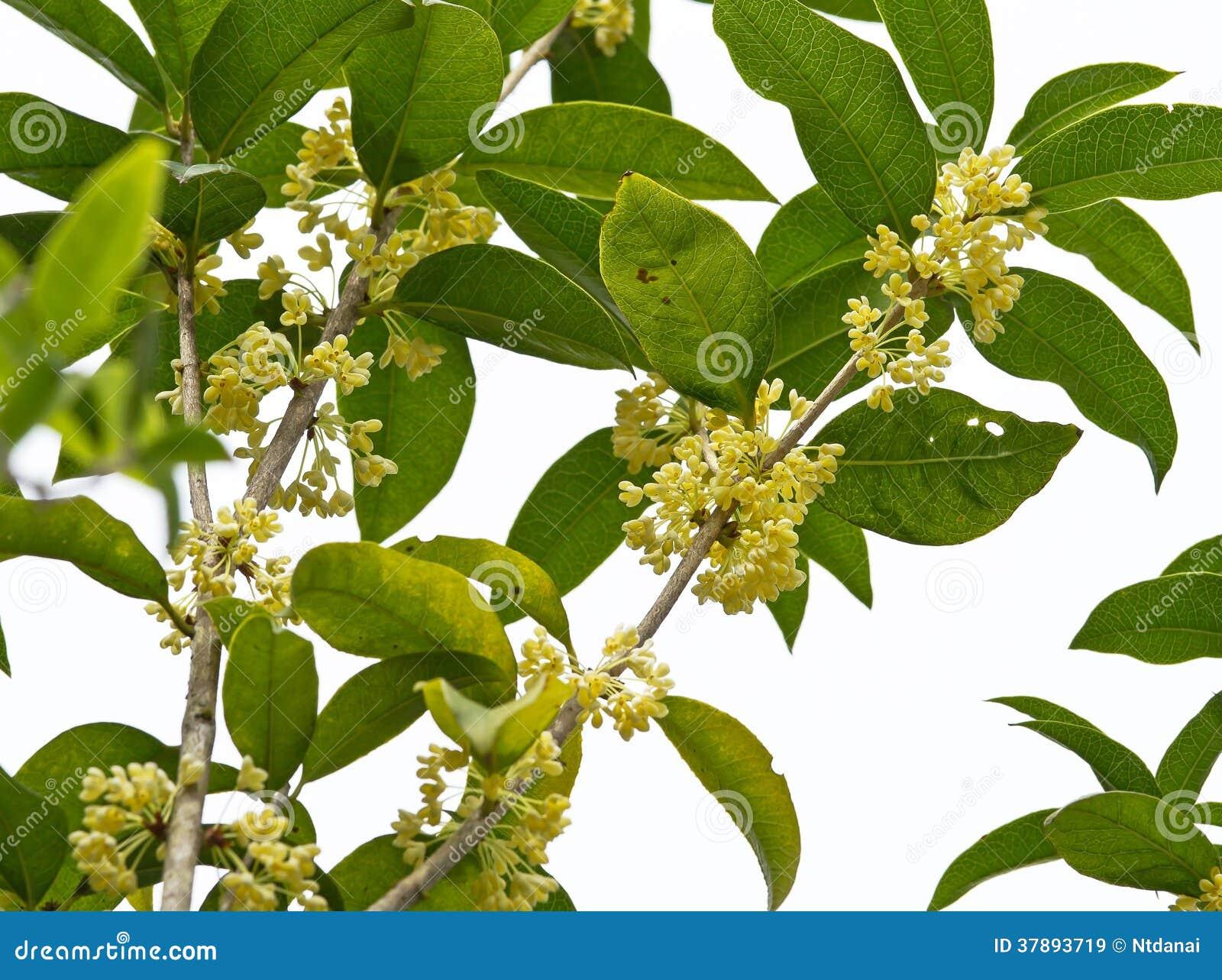 Flor doce do Osmanthus
