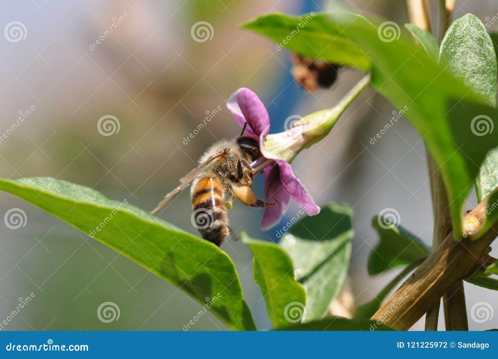 Flor e abelha de Goji
