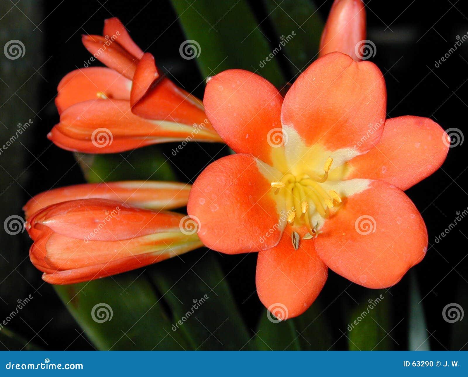 Flor e botões alaranjados de Clivia