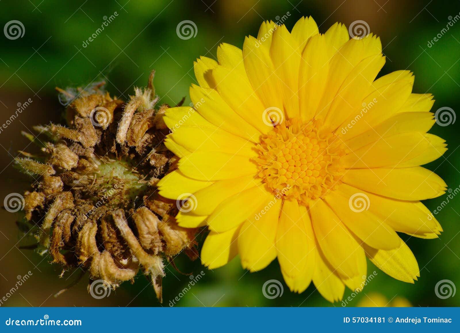 Flor e sementes do cravo-de-defunto de potenciômetro
