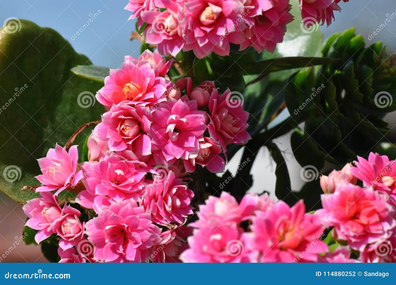 Flor el flamear Katy