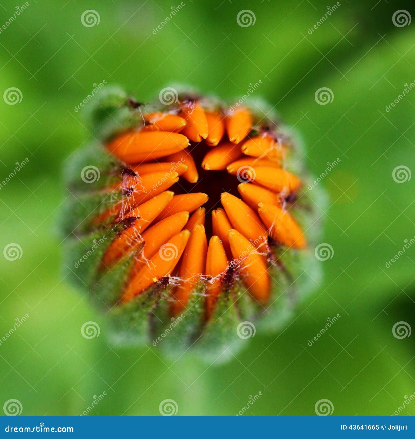 Flor em botão do Calendula