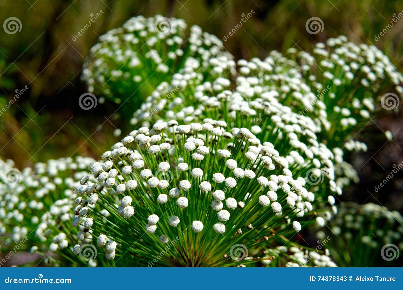 Flor em Brasil