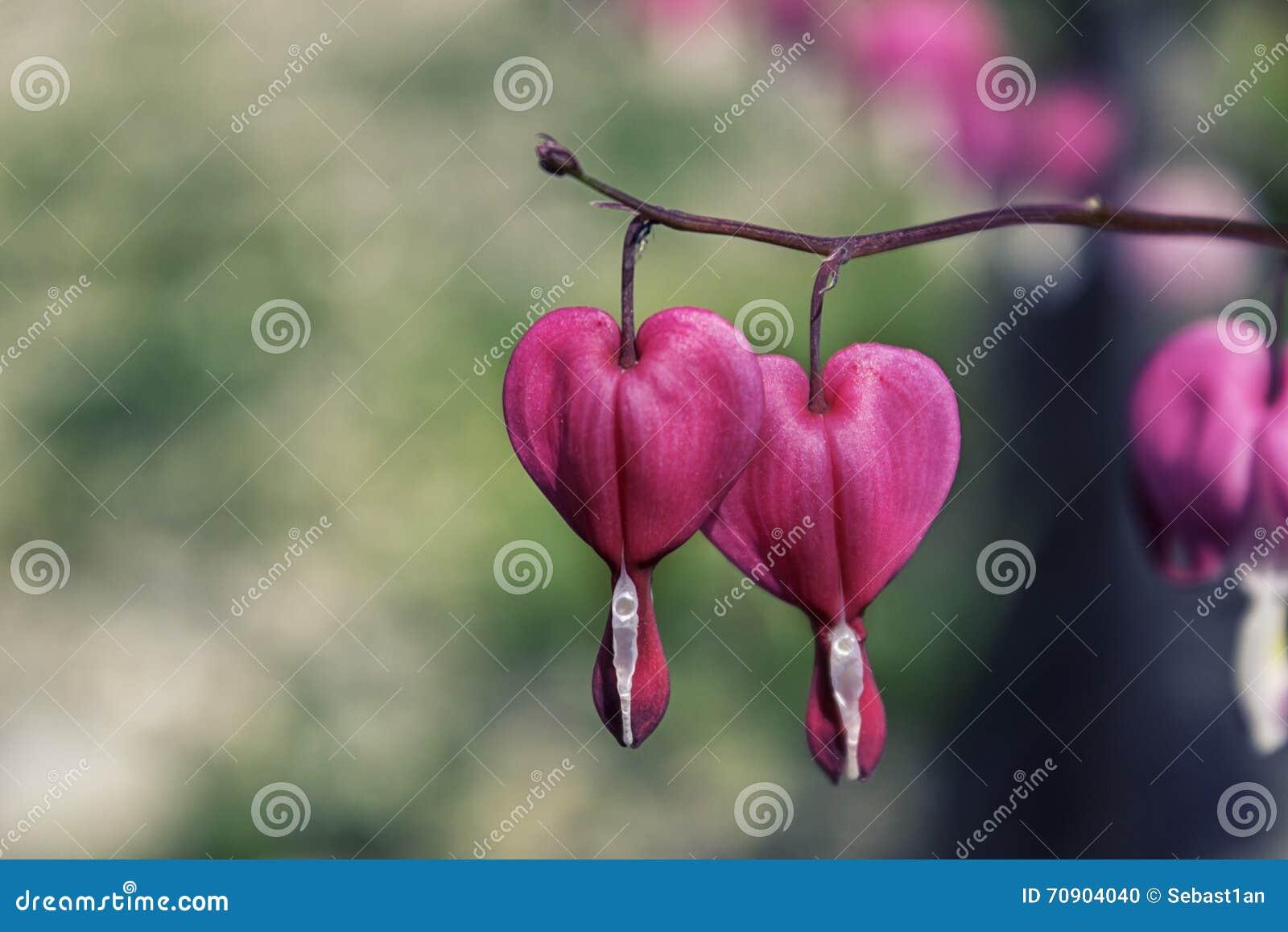 Flor En Forma De Corazón Rosada Foto De Archivo Imagen De Perenne