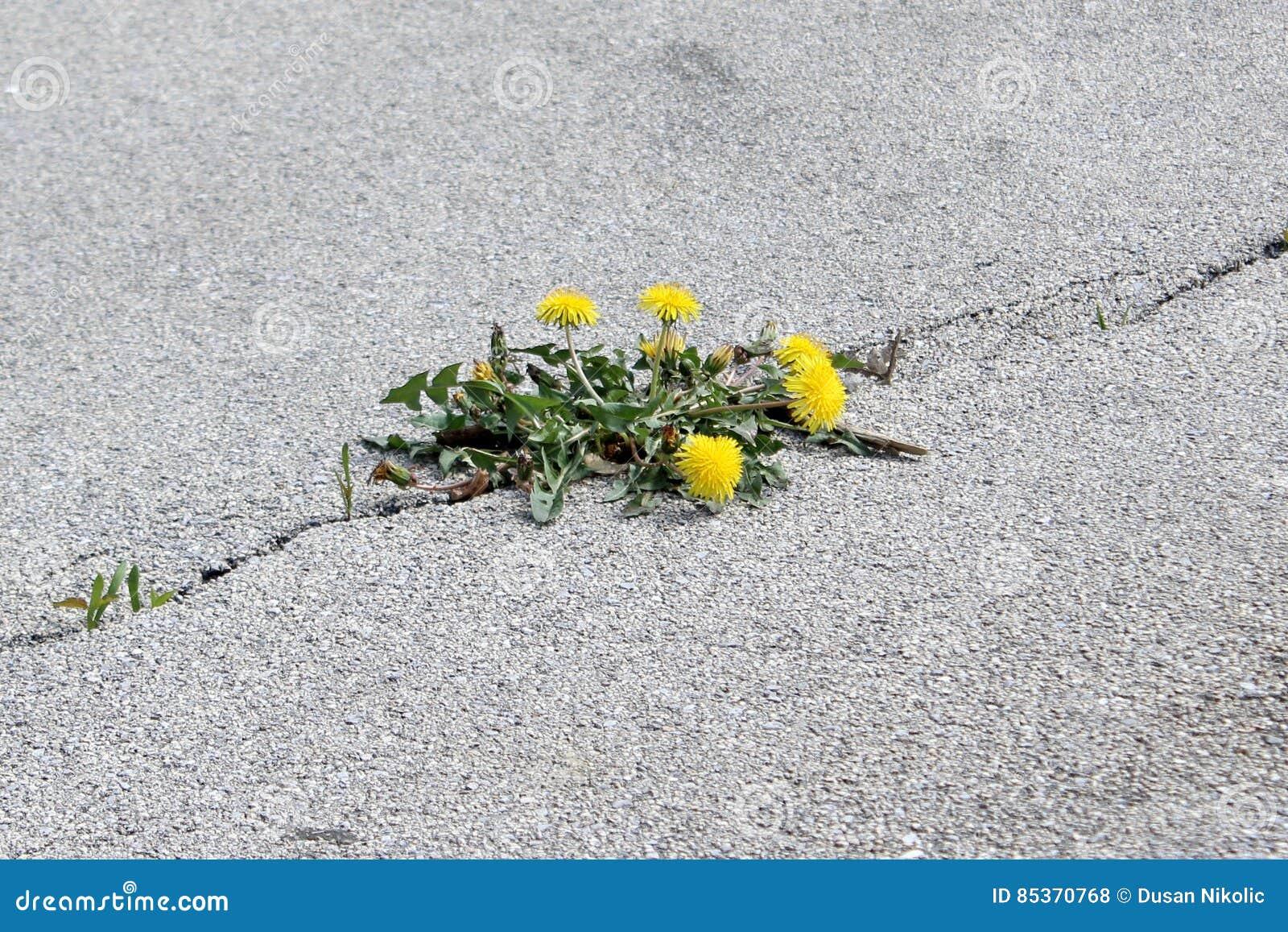 Flor en grieta del asfalto