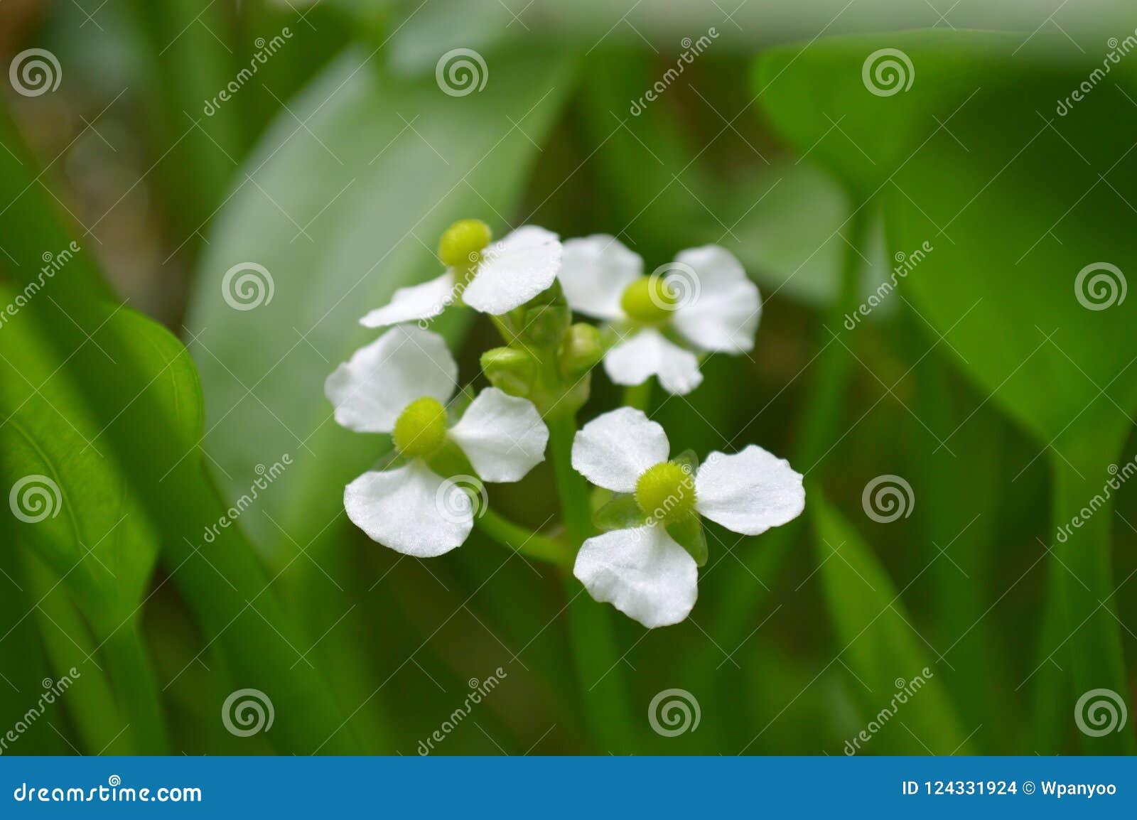 Flor fêmea da seta do bulltongue, sp do Sagittaria