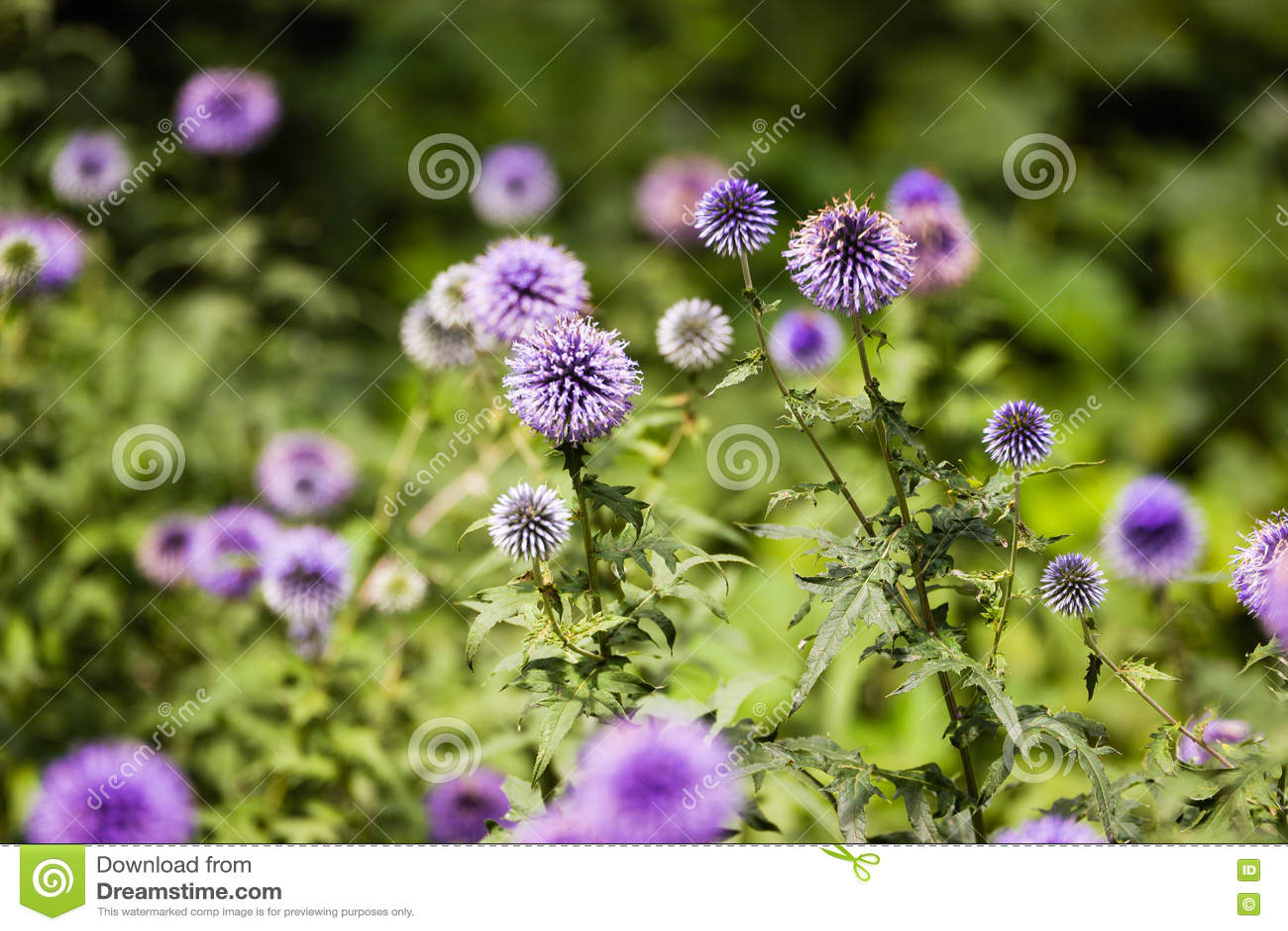 Flor floreciente del cardo de leche