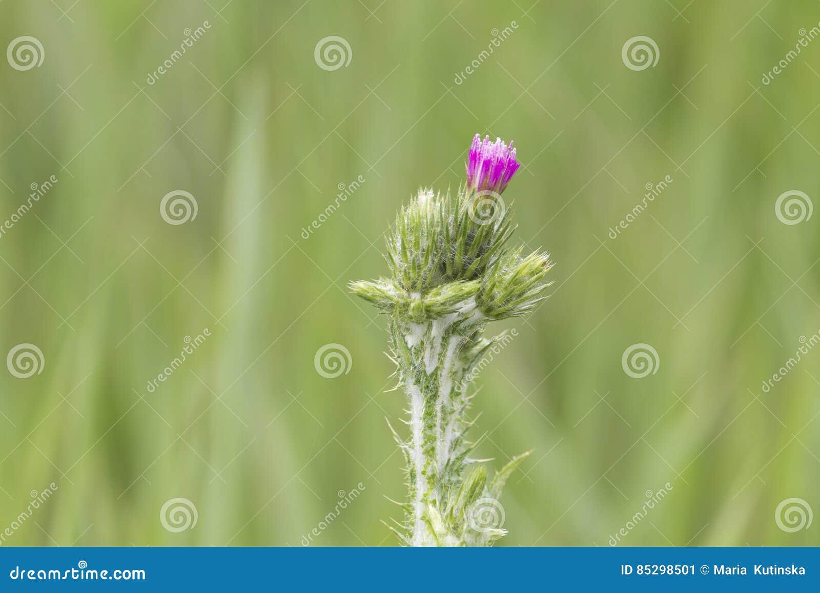 Flor floreciente del cardo de leche sobre el fondo verde, cierre para arriba, macro