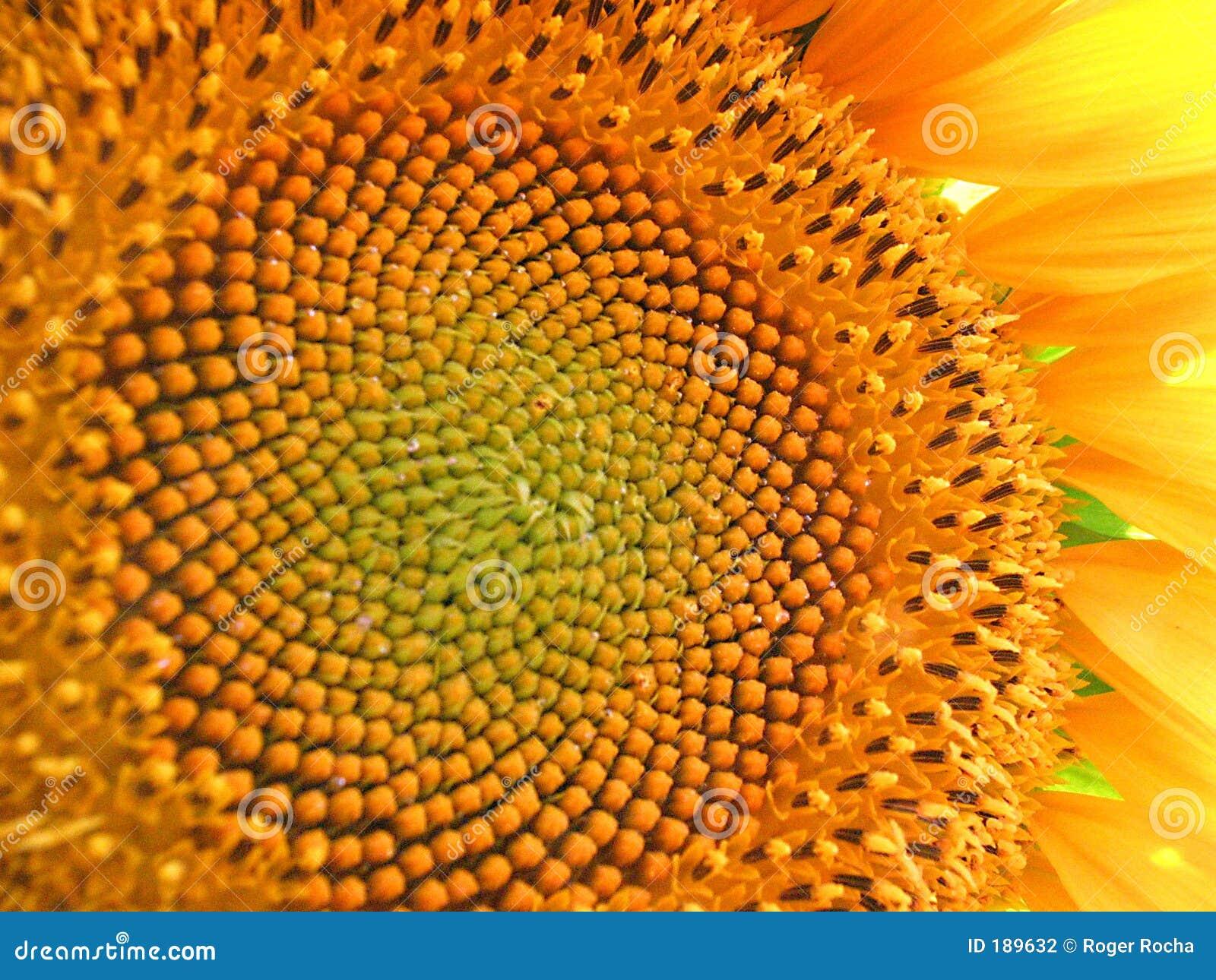 Flor grande de Sun