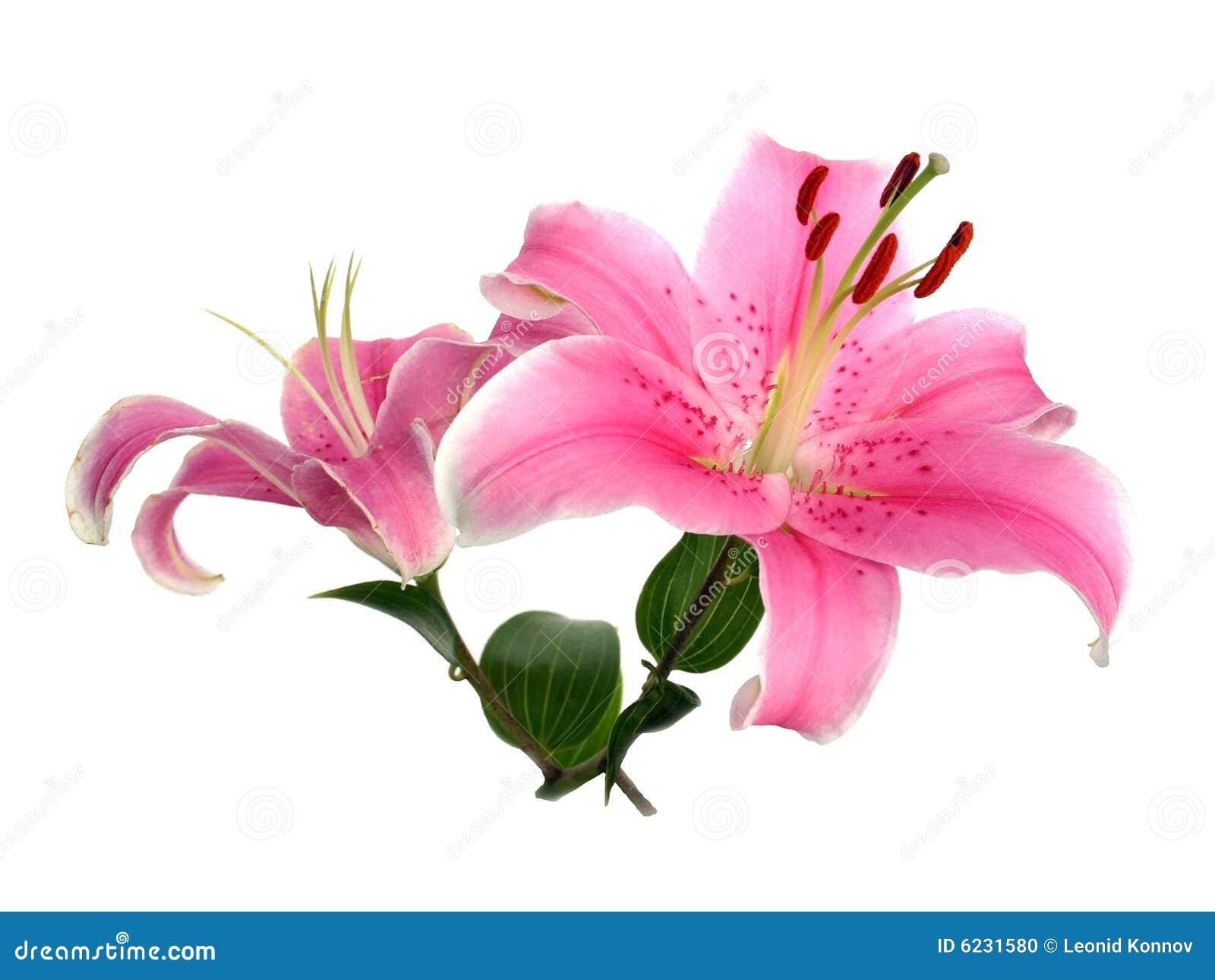 flor hermosa foto de archivo imagen de blanco flores 6231580