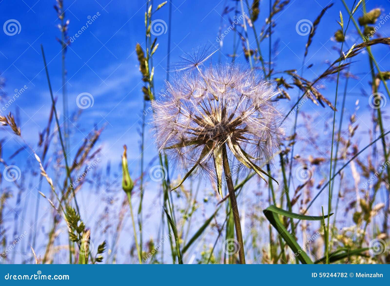 Download Flor hermosa del blowball foto de archivo. Imagen de fresco - 59244782