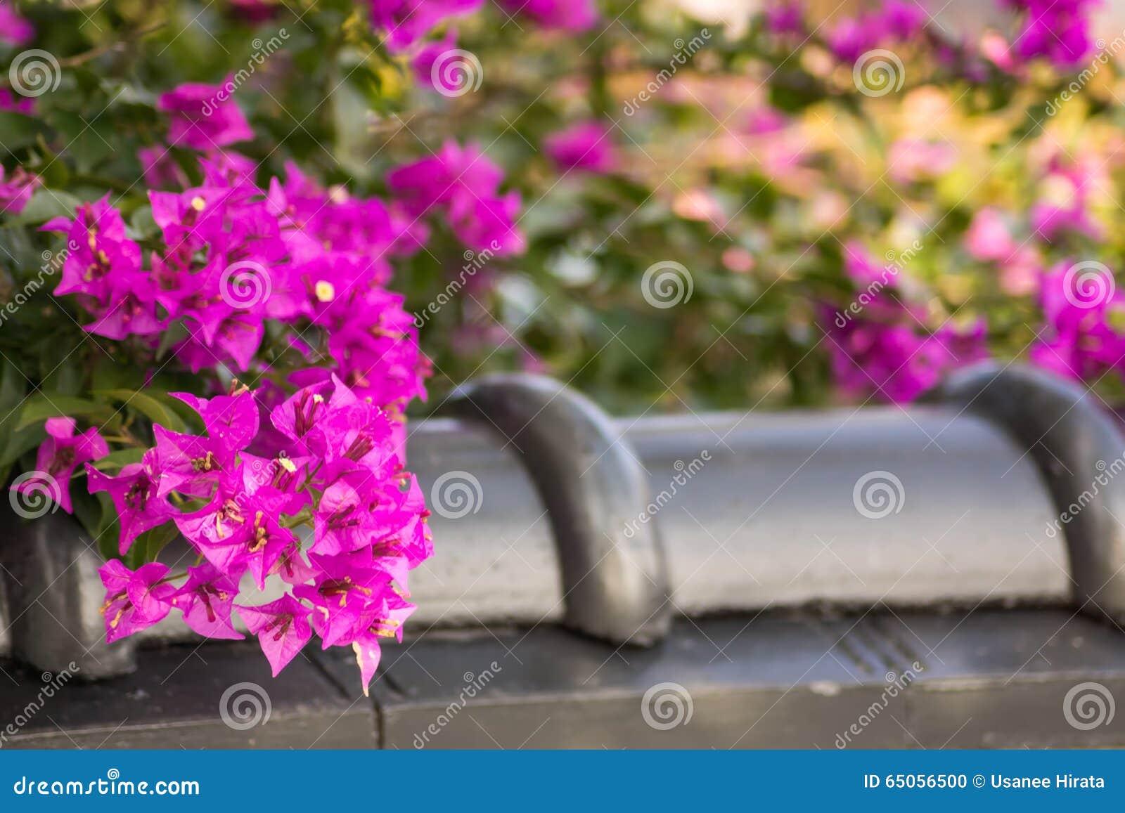 Flor hermosa del bougainvillea