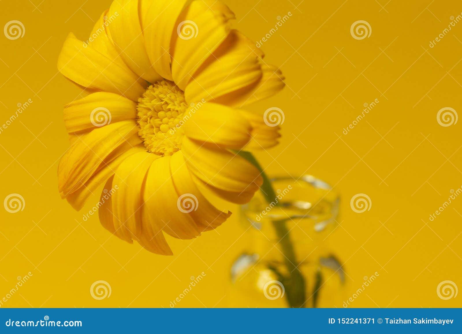 Flor hermosa del calendula en el tarro de cristal en un fondo amarillo Concepto de la medicina alternativa Estilo del minimalismo