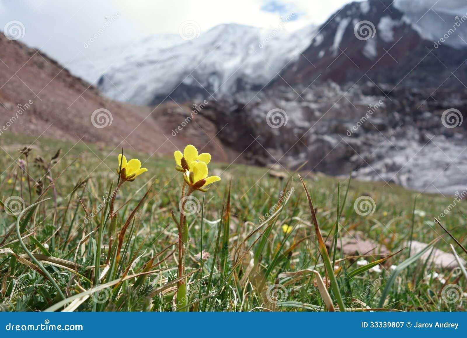 Flor hermosa del Pamirs septentrional
