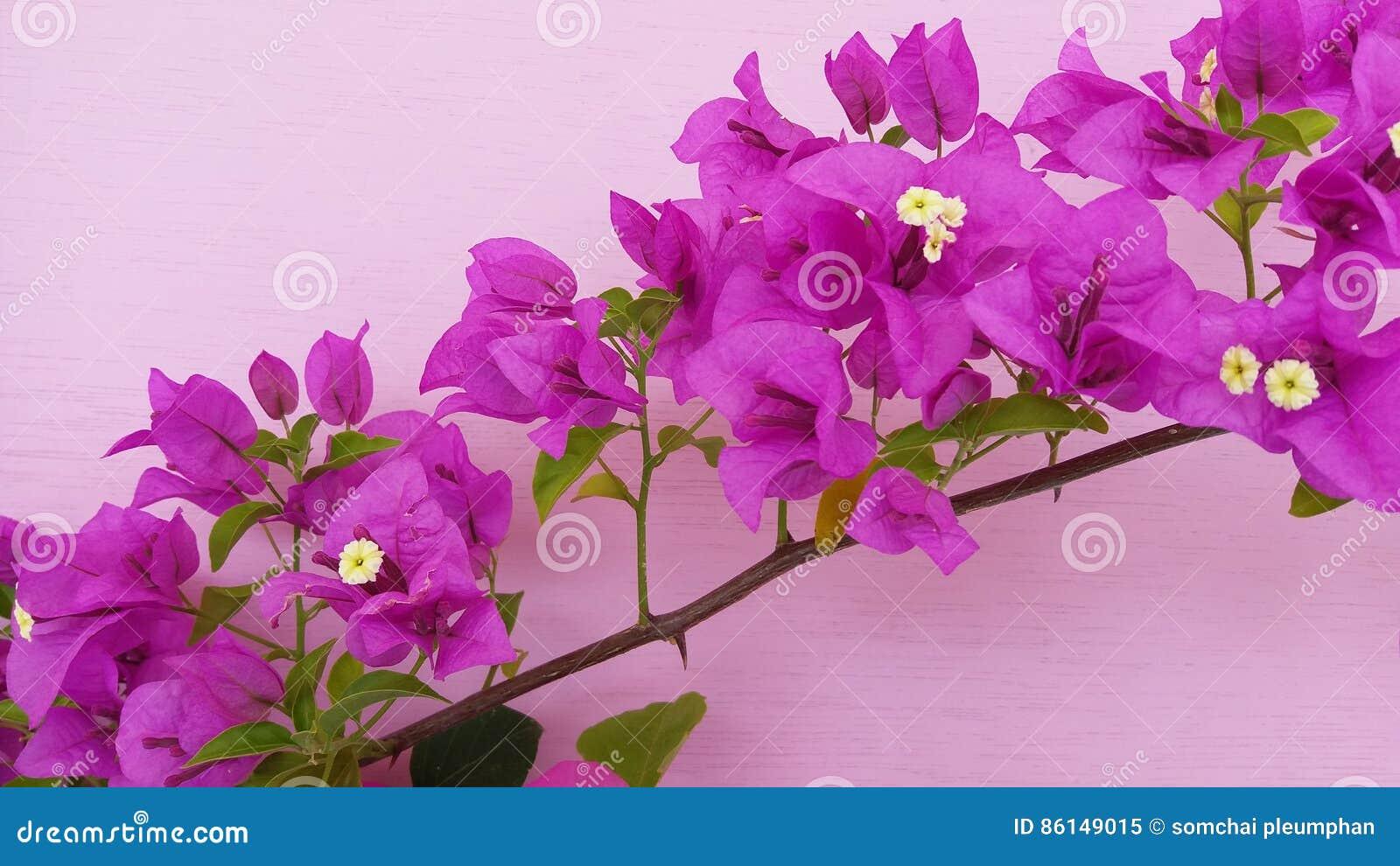 Flor hermosa hermosa del color de la buganvilla foto de archivo imagen 86149015 - La buganvilla ...