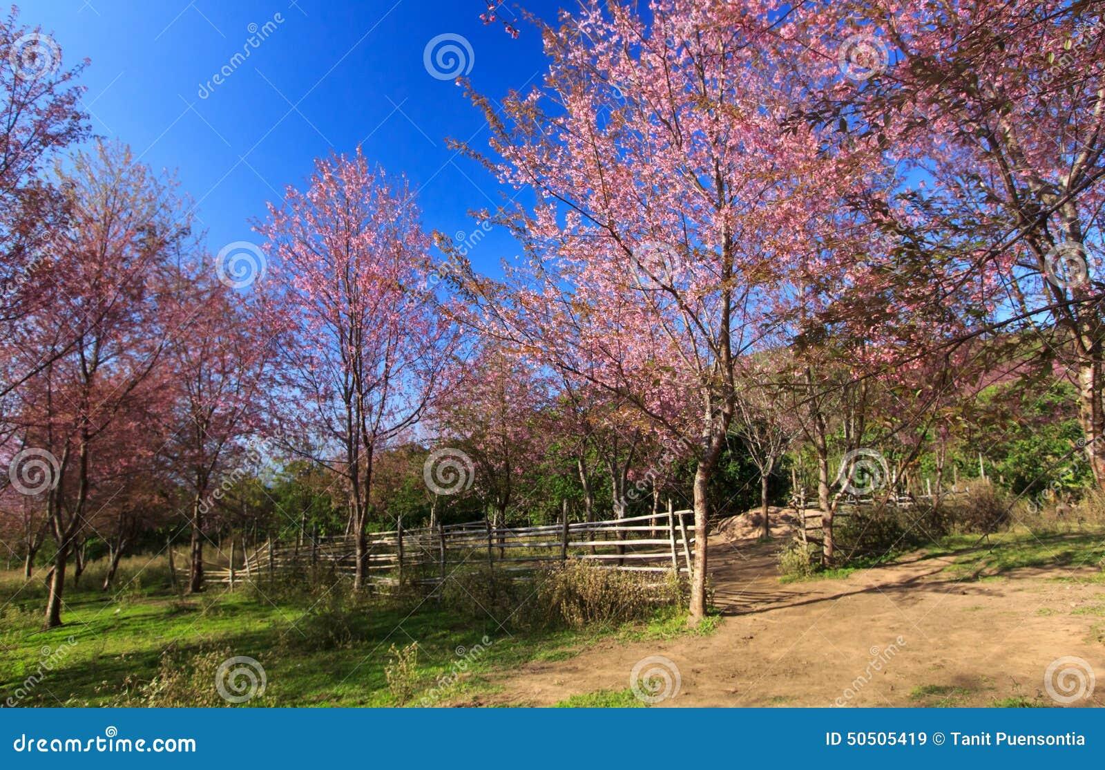 Flor Himalayan salvaje de la cereza (Sakura de Tailandia o cerasoides del Prunus) en la montaña de Phu Lom Lo, Loei, Tailandia