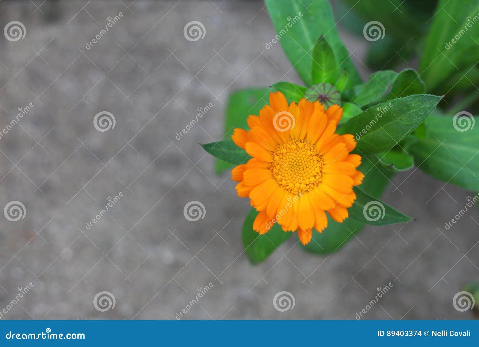 Flor inglesa alaranjada do cravo-de-defunto