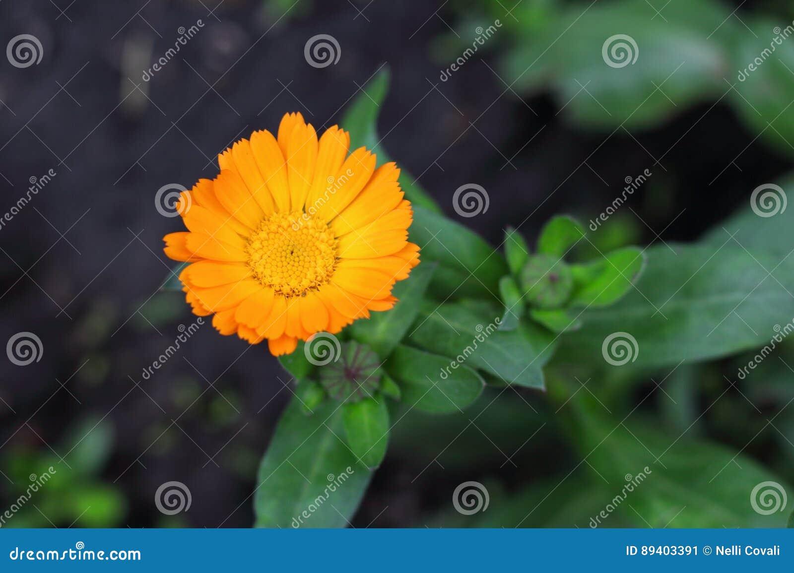 Flor inglesa de florescência do cravo-de-defunto da laranja