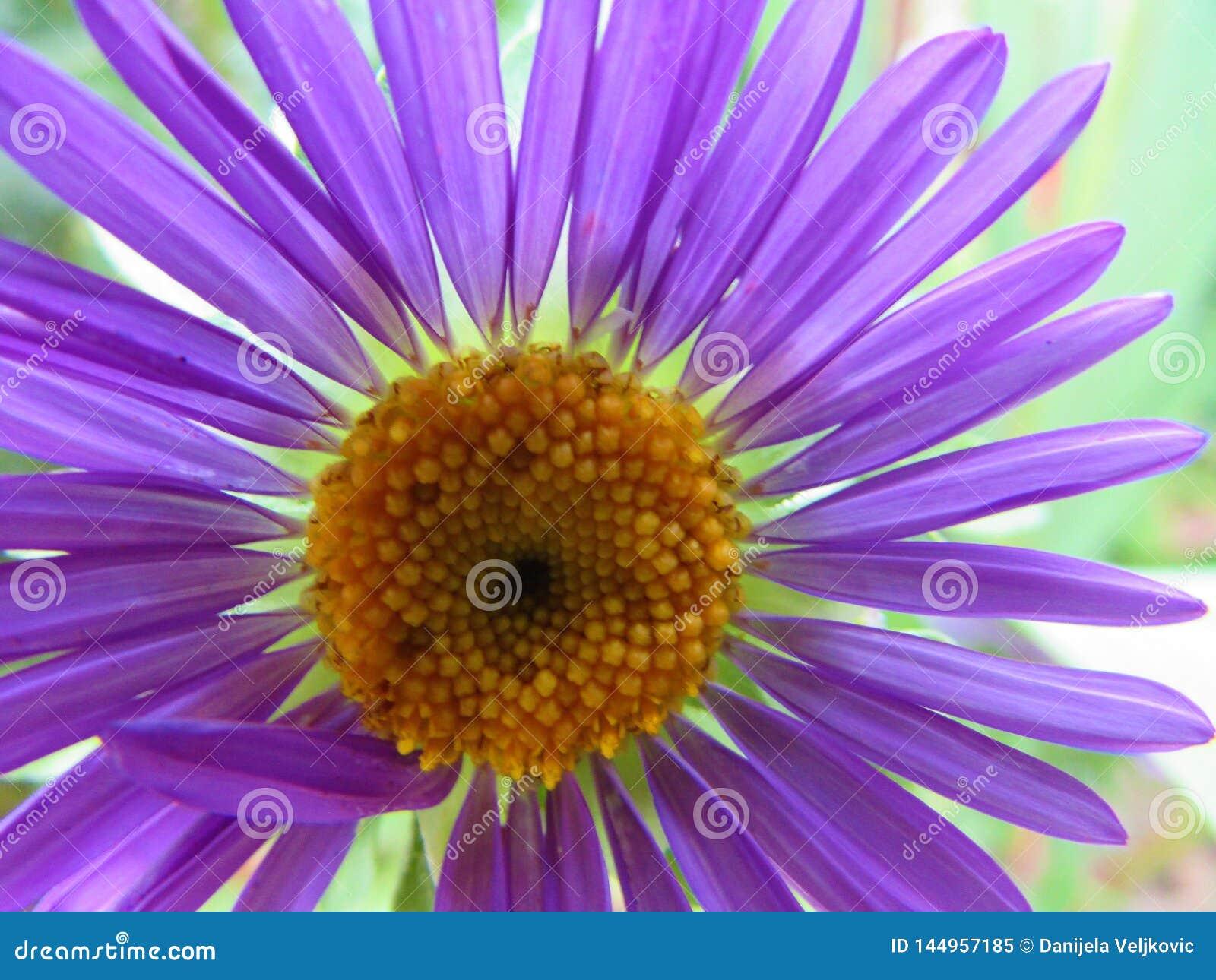 Flor Kata Aster hermosa