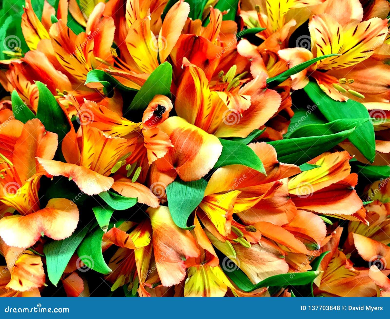Flor, lirio peruano, anaranjado y amarillo