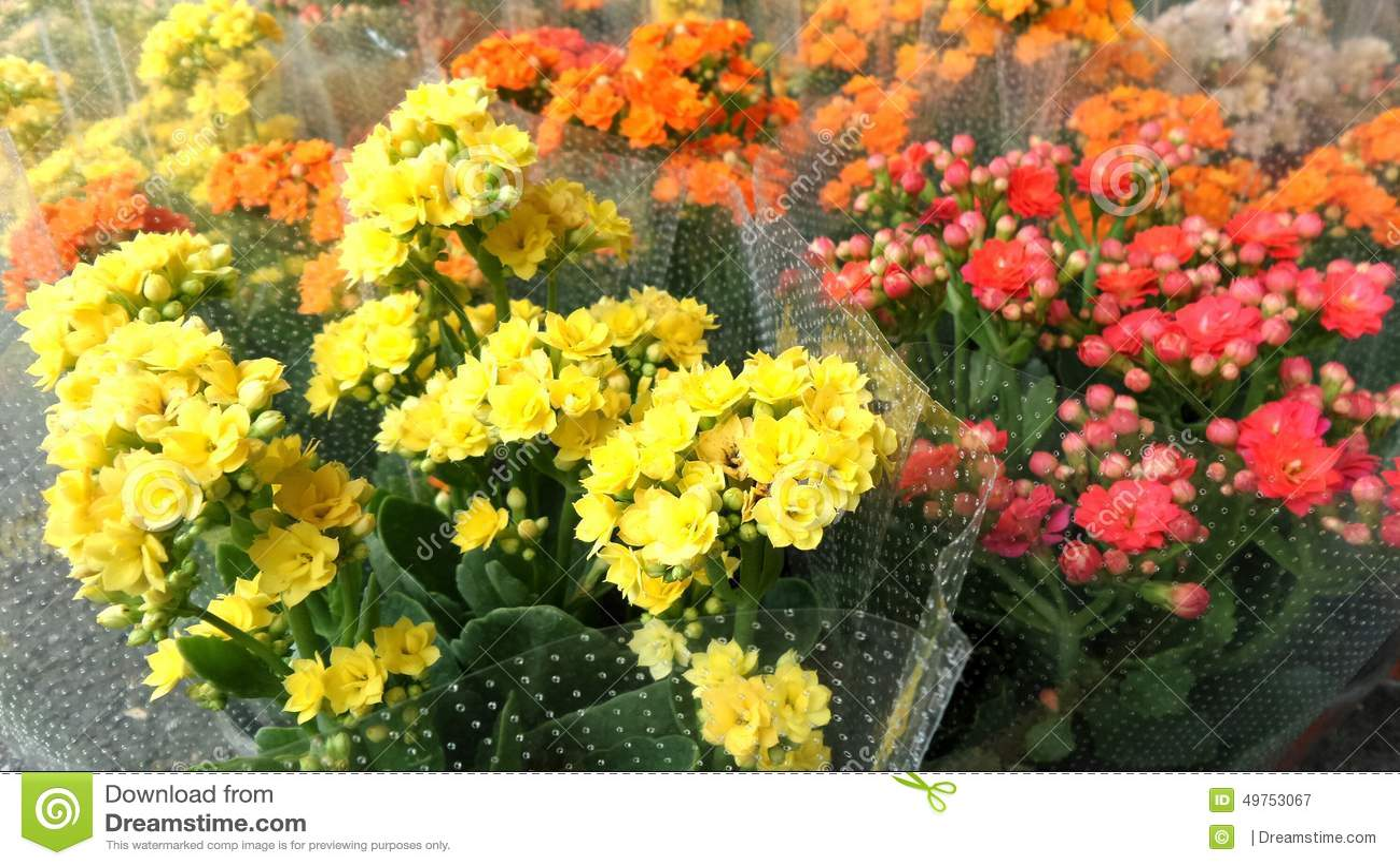 Flor llameante colorida de Katy