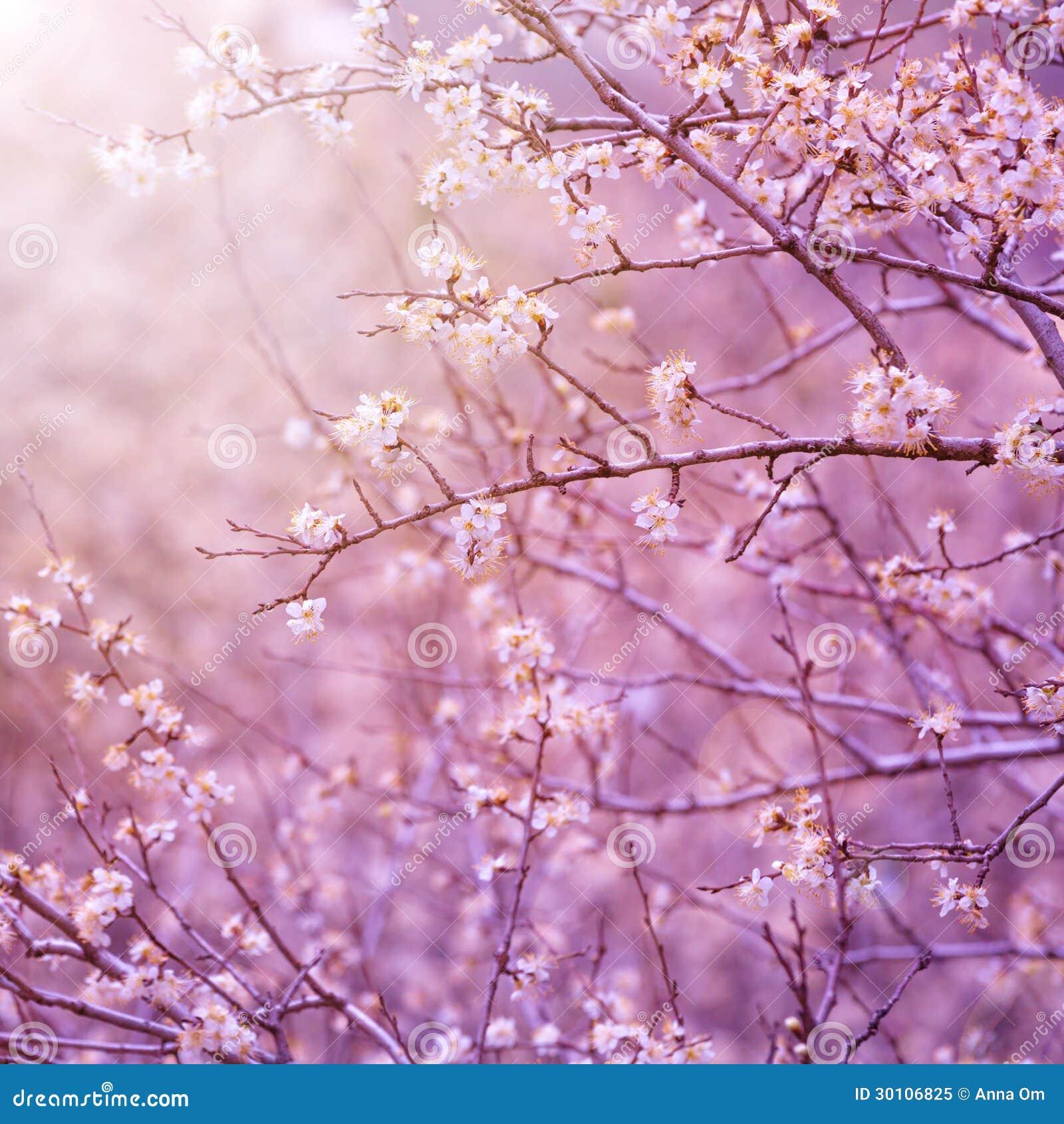 Flor da árvore de cereja