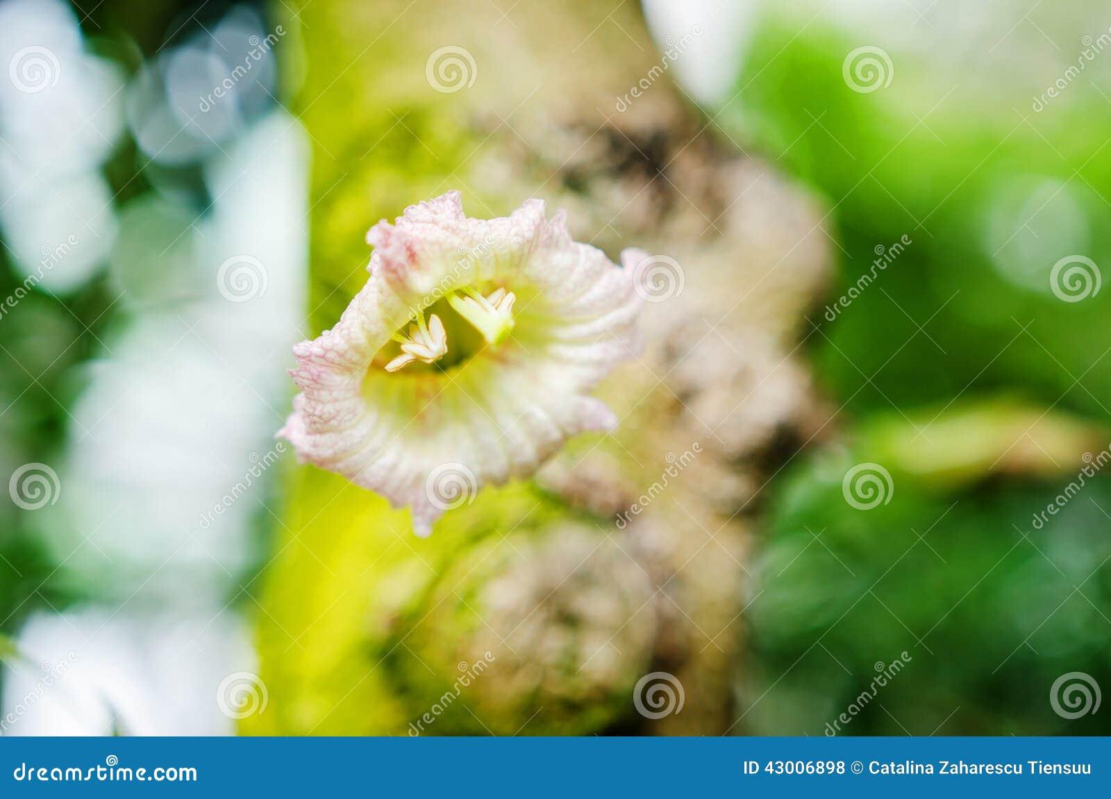 Flor mexicana do cabaceiro