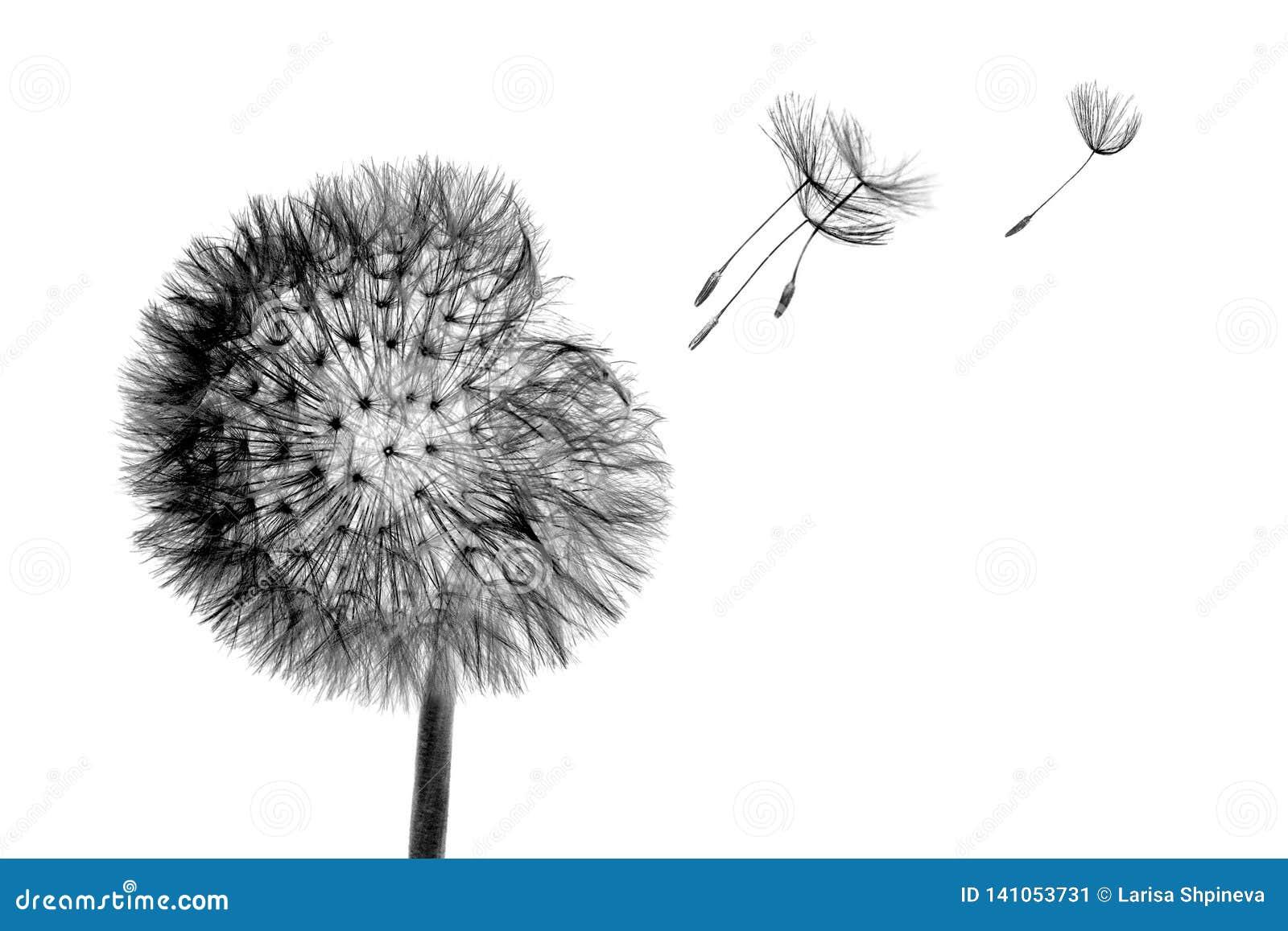 Flor negra del diente de león de la cabeza de la floración con las semillas del vuelo en el viento aislado en el fondo blanco