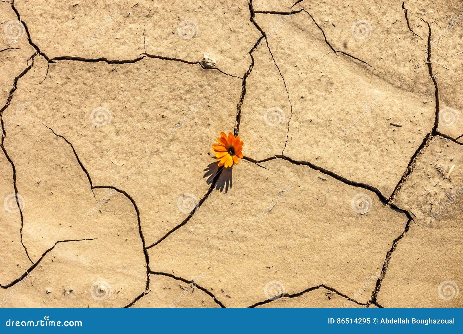 A Flor No Deserto é Margarida Da Terra Seca Imagem De Stock Imagem