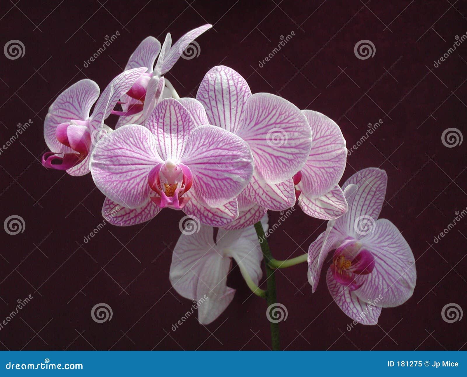 Flor - orquídea