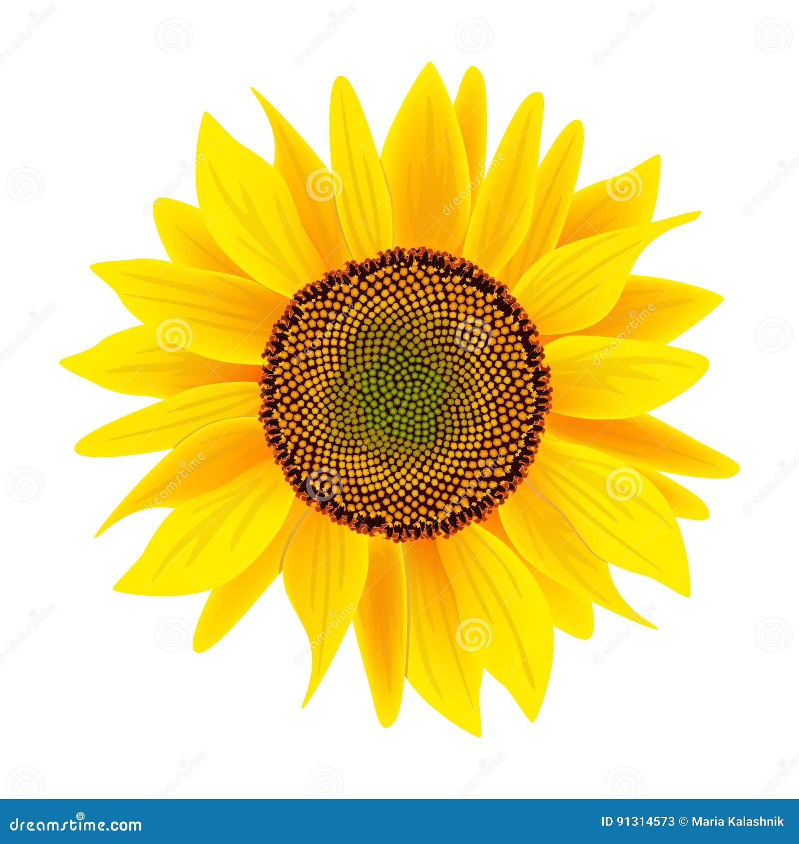 Flor Ou Helianthus Do Girassol Isolada No Fundo Branco Ilustracao