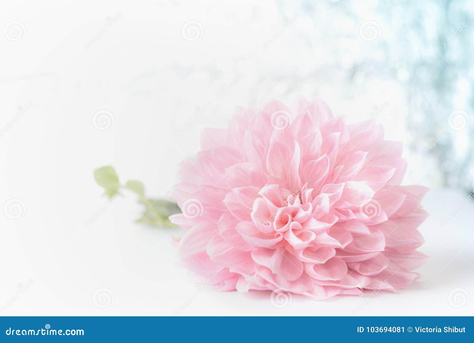Flor pálida rosada hermosa grande en el fondo del bokeh, vista delantera Tarjeta de felicitación floral creativa para el día de m