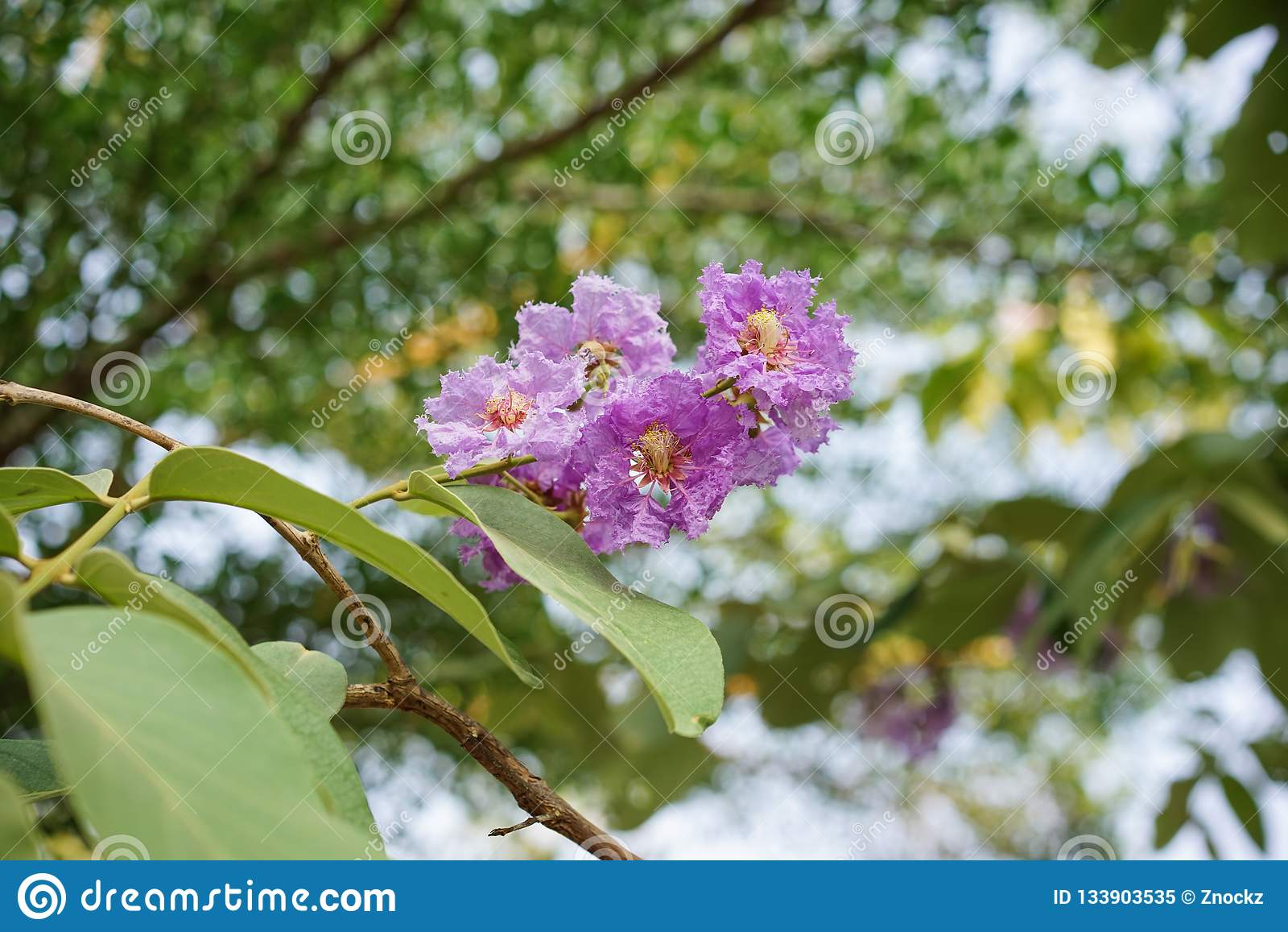 Flor púrpura de la inflorescencia
