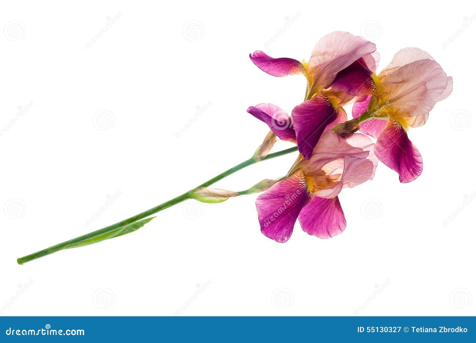 Flor púrpura del iris