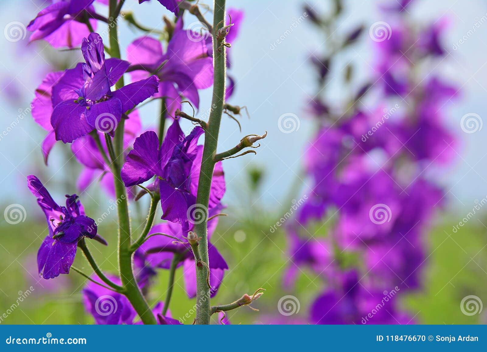 Flor púrpura delante de un campo las mismas flores - detalle