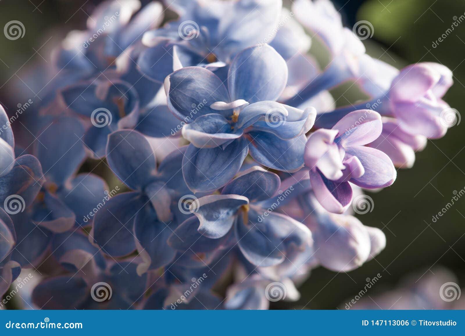 Flor p?rpura de la lila de la primavera del flor hermoso de la fragancia
