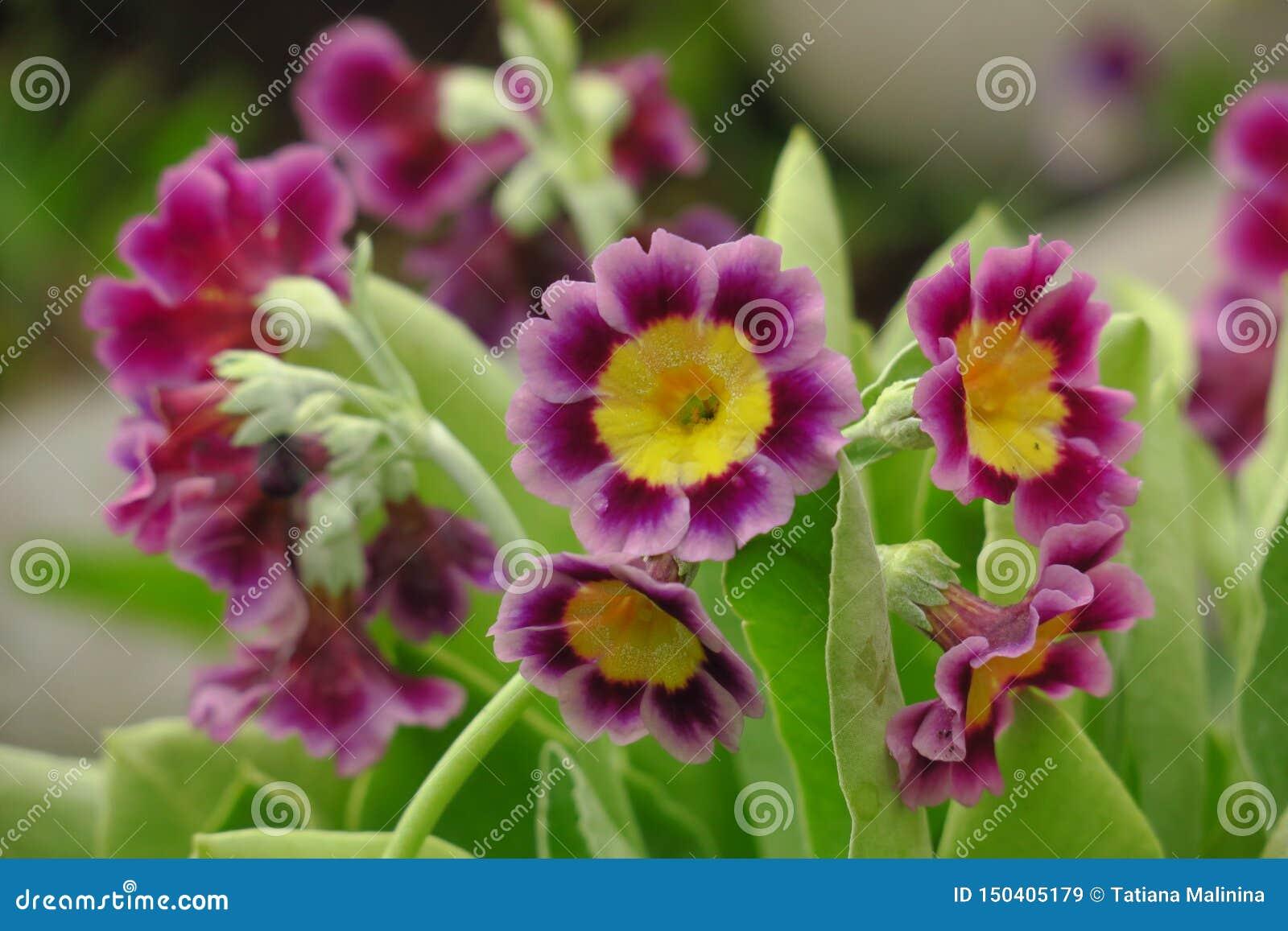 Flor p?rpura vulgaris de la primavera de la pr?mula de la planta de la onagra del manojo primera