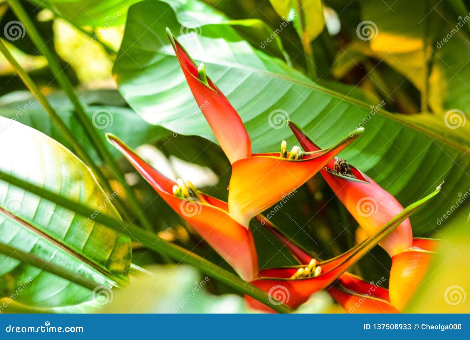 Flor picante de Heliconia