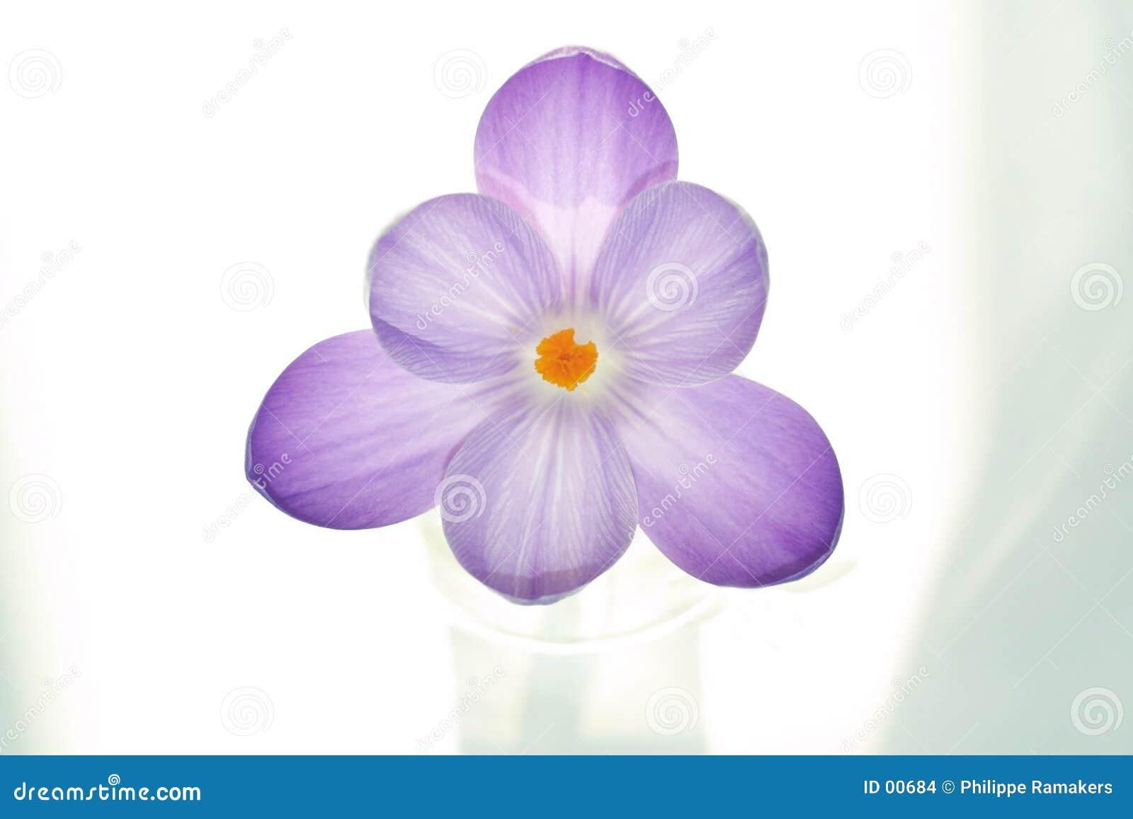 Flor pura del azafrán