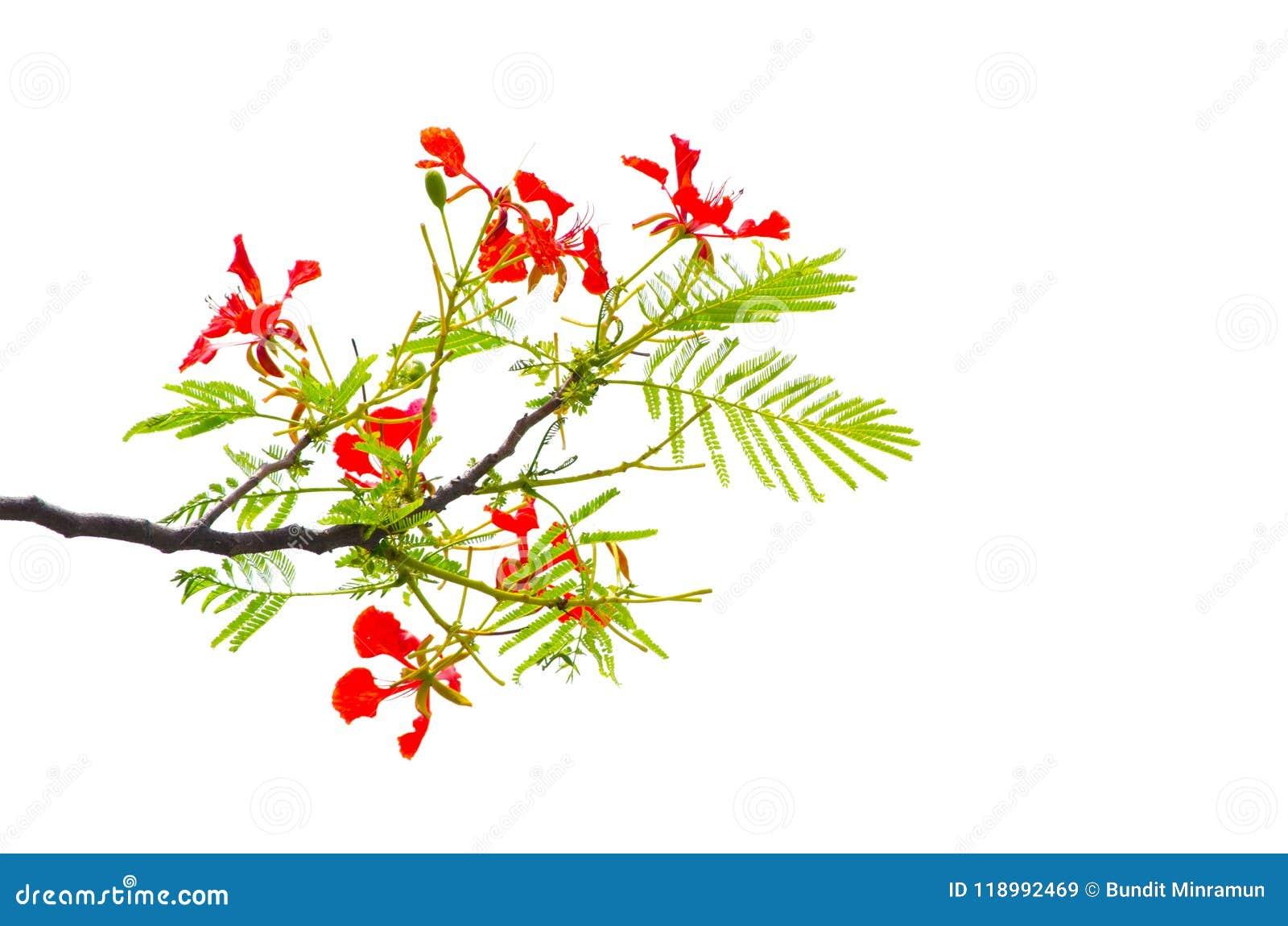 Flor real roja hermosa del regia del Delonix de Poinciana en su rama con las hojas del verde aisladas en el fondo blanco