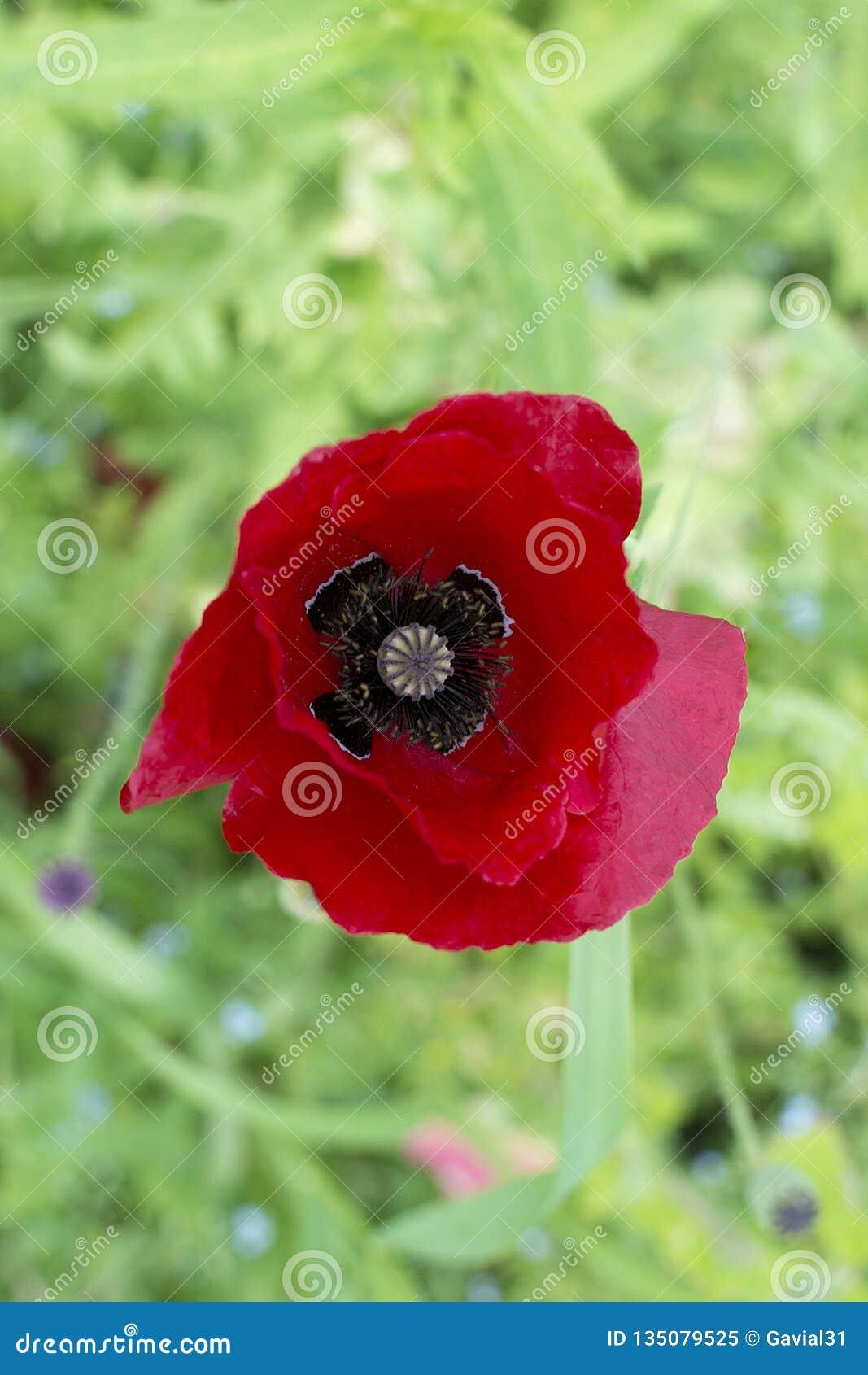 Flor roja brillante de la amapola, en fondo borroso verde, visión superior