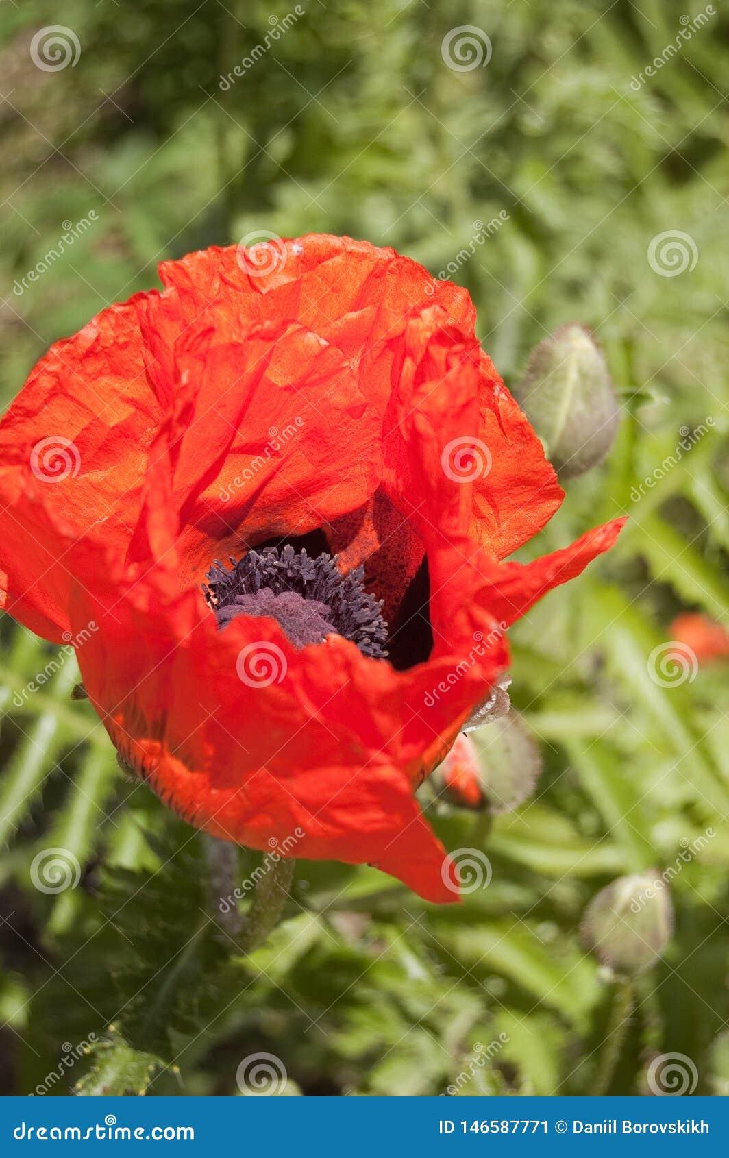 Flor roja de la amapola en fondo verde