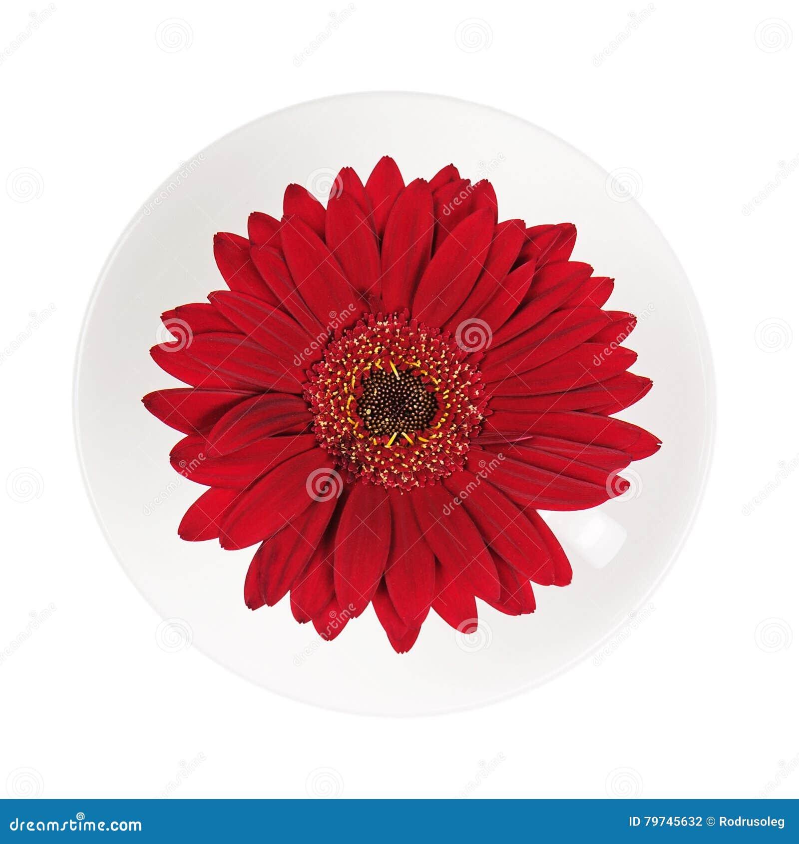 Flor roja del gerbera en la taza y el platillo aislados en el backgroun blanco